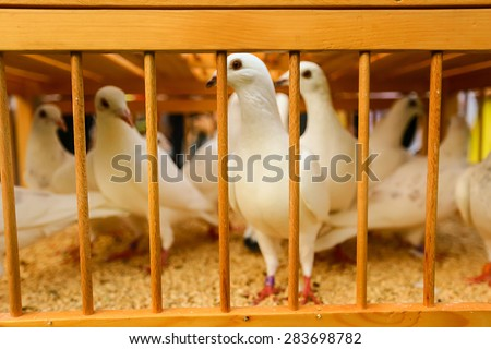white doves on a sunny day in a wooden cage - stock photo