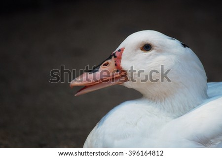 White duck closeup