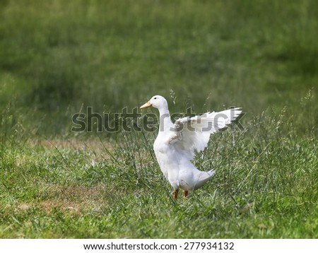 White duck in a green field of grass flapping his wings