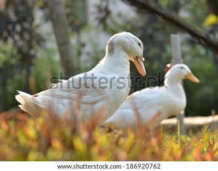 white ducks - stock photo