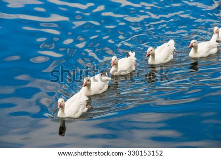 White ducks swimming in the pond together - stock photo