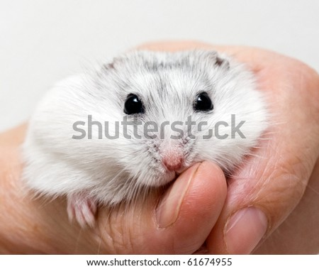 White dwarf hamster in a human hand - stock photo