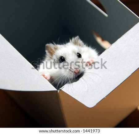 White dwarf hamster standing up in a box - stock photo