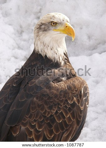 White eagle - stock photo