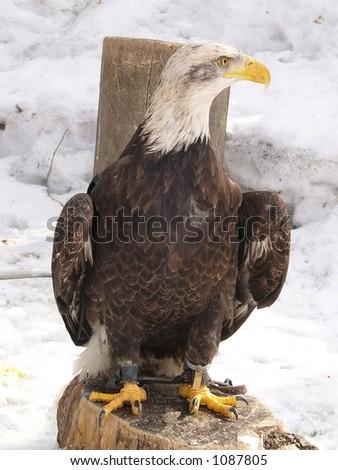 White eagle in handcuffs - stock photo