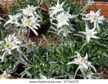 Surprising White Edelweiss Flowers Alpine Garden Stock Photo   With Interesting White Edelweiss Flowers In Alpine Garden With Delectable Kents Garden Chinese Menu Also The Jolly Gardener Earlsfield In Addition Garden Services Nottingham And Garden Shredder Mulcher As Well As Madison Square Garden Rangers Store Additionally Country House Gardens From Shutterstockcom With   Interesting White Edelweiss Flowers Alpine Garden Stock Photo   With Delectable White Edelweiss Flowers In Alpine Garden And Surprising Kents Garden Chinese Menu Also The Jolly Gardener Earlsfield In Addition Garden Services Nottingham From Shutterstockcom
