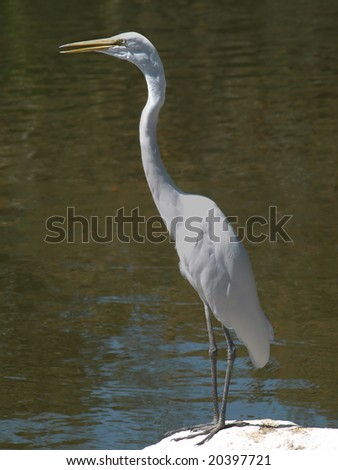 White egret on rock with beak partially open. Contrasting against pond water