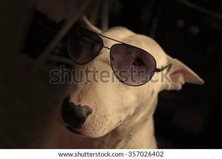 White English bull Terrier in sunglasses - stock photo