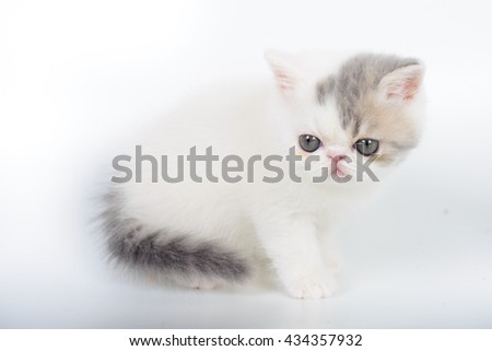 white exotic kittens on a white background.