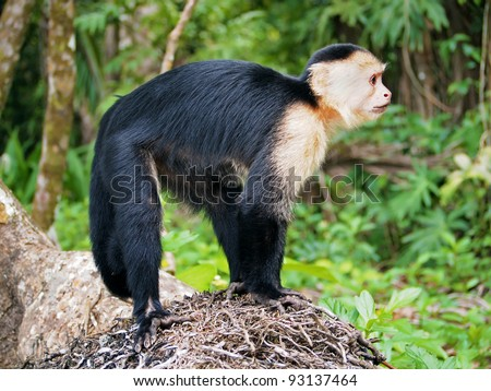 White-faced capuchin monkey, national park of Cahuita, Caribbean, Costa Rica
