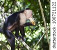 White-faced monkey biting on a banana in Manuel Antonio National Park, Costa Rica. - stock photo