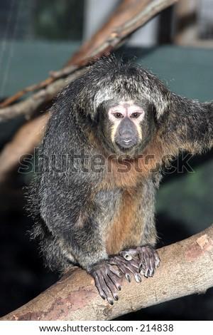 White faced saki monkey female - stock photo
