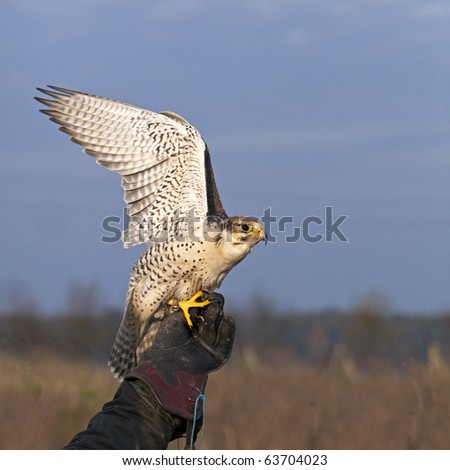 White Falco cherrug starts - stock photo