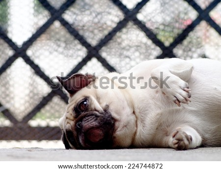 white fat lovely pug dog laying and rolling on the floor making funny face and posture  - stock photo