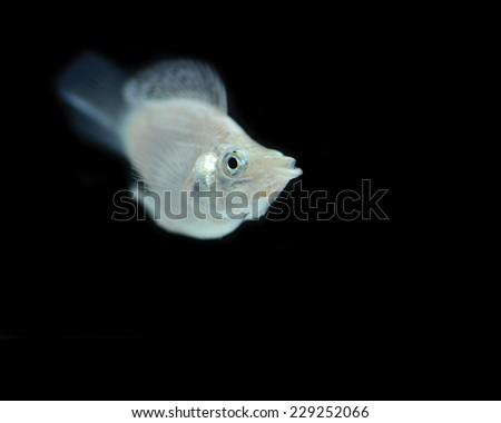 White fish on black background. - stock photo
