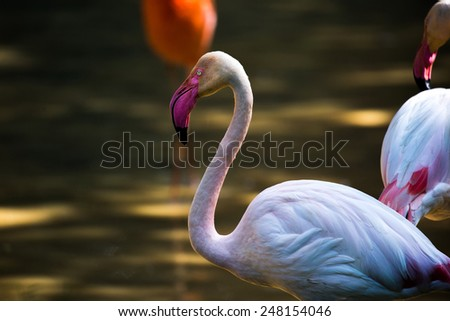 white flamingo, head, neck and body - stock photo