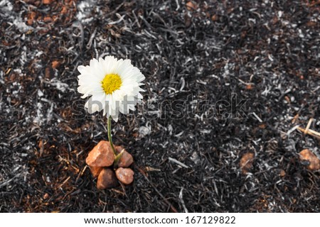 white flower can survive on ash of burnt grass due to wildfire - stock photo