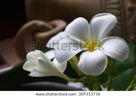 White flower frangipani or plumeria with vintage and boutique look for spa relax  - stock photo