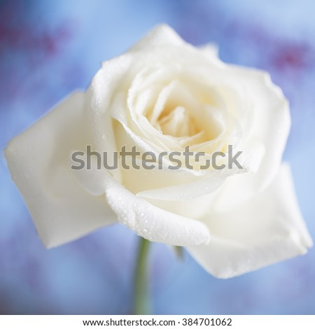 White Flower, isolated and square cropped. - stock photo