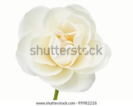White Flower Isolated on White Background, White Rose - stock photo