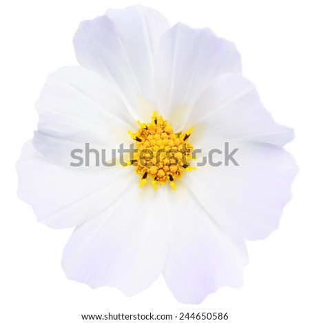 White flower isolated. Panoramic shot. No dust. No pollen. - stock photo