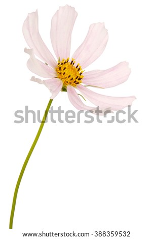 White flower kosmeya full size isolated on white. Clipping path included.