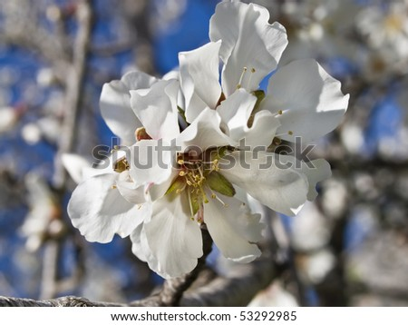 White flower of an almond tree blooming in spring - stock photo