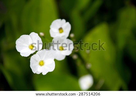 White flower of aquatic plant named Arrow Head Ame son - stock photo