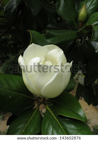 white flower of magnolia on a branch - stock photo