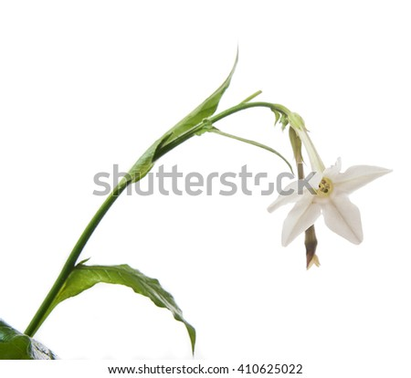 white flower of sweet tobacco isolated on white background - stock photo