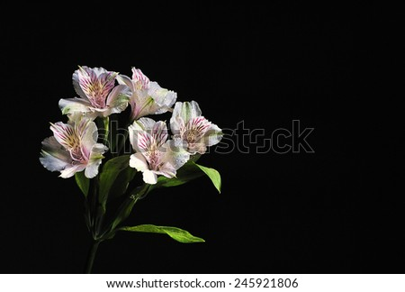 white flower on black background - stock photo