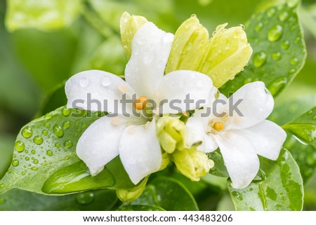 White flower - orange jasmine, with water droplets, in soft blurred style, on green blur background, in Thailand. Macro.