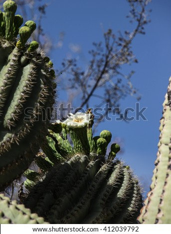 White flower with yellow center on top of tall desert cactus column on sunny day/White Bloom in Sun with Yellow Center on Tall Desert Plant on Blue Sky Day/White blossom at top of tall desert cactus - stock photo