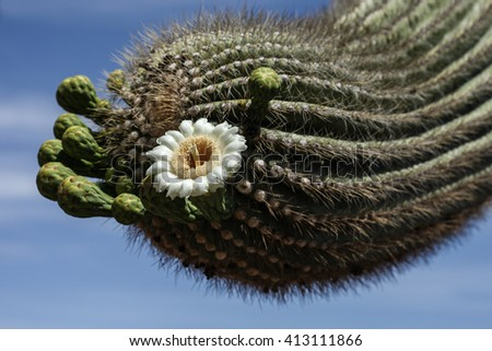 White flower with yellowish center on thick branch of desert cactus plant/White Bloom with Yellow Center on Tip of Hefty Branch of Desert Cactus/White flower with yellow center on thick arm of cactus - stock photo