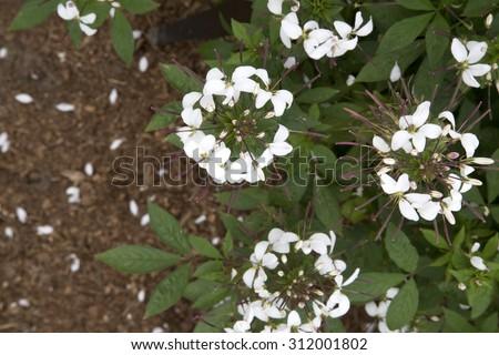White flowered plant cleome senorita blanca stock photo safe to use white flowered plant cleome senorita blanca imp mightylinksfo