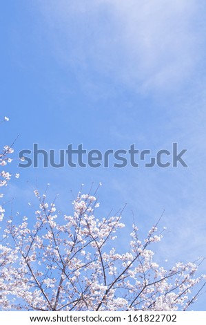 White flowering tree under the blue sky. - stock photo