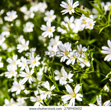 White flowers anemone in forest - stock photo