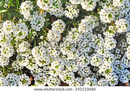 white flowers background. Lobelia flowers blossom  - stock photo