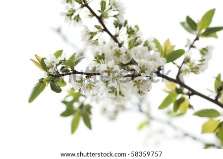 White flowers blooming on tree branch. Shallow DOF. - stock photo