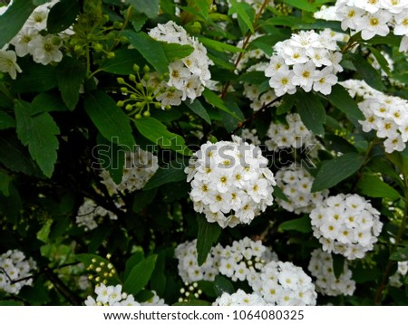 White flowers blossom shrub bush tree stock photo edit now white flowers blossom shrub bush or tree branch green leaves foliage pattern background little white mightylinksfo
