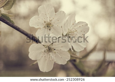 White flowers blossoming on a tree on an aged photo - stock photo