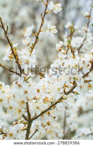 White flowers blossoming on cherry tree