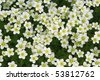 White flowers field. Top view - stock photo
