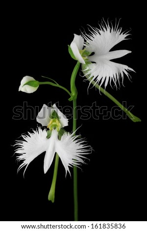 White flowers in bloom isolated on black background - stock photo