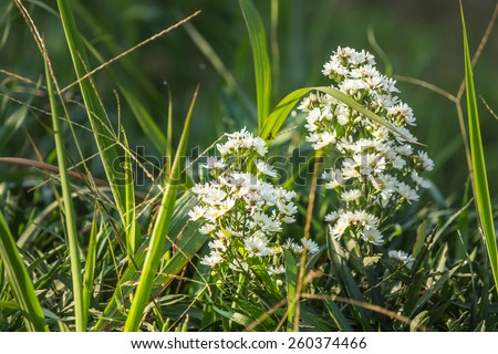 White flowers in overgrown grass and morning light. - stock photo