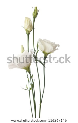 white  flowers isolated on white. eustoma - stock photo