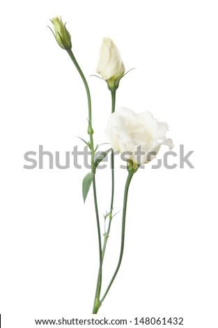 white flowers isolated on white. eustoma - stock photo
