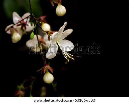 White flowers name nodding clerodendron on stock photo royalty free white flowers name nodding clerodendron on black background mightylinksfo