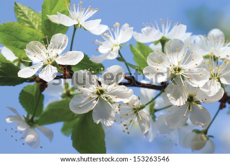 White flowers of a cherry against the dark blue sky - stock photo