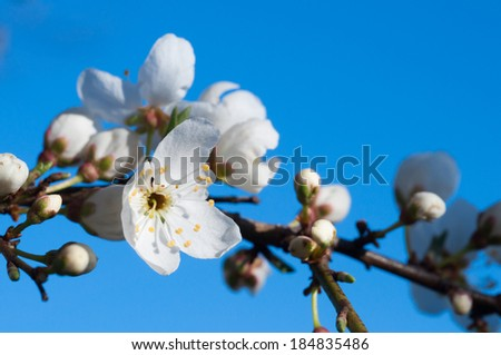 White flowers of apple tree.